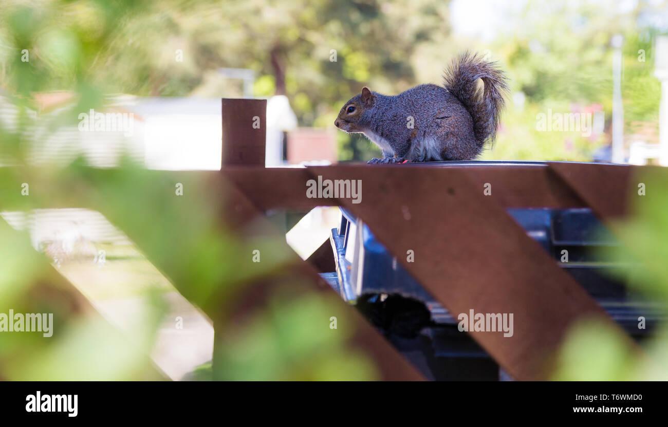 Cremige weibliche Eichhörnchen