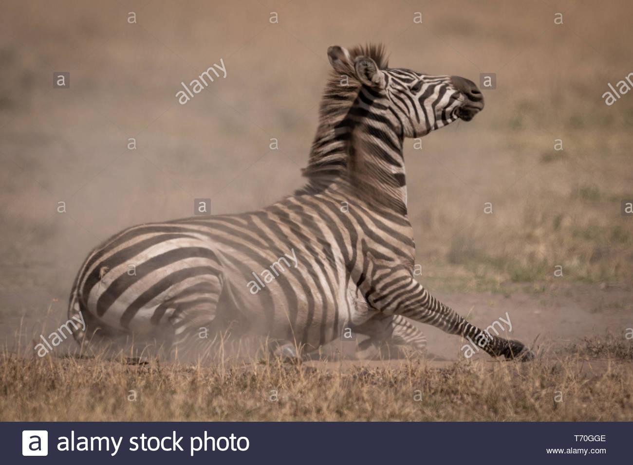 Ebenen zebra liegen auf Grünland in Staub Stockfoto