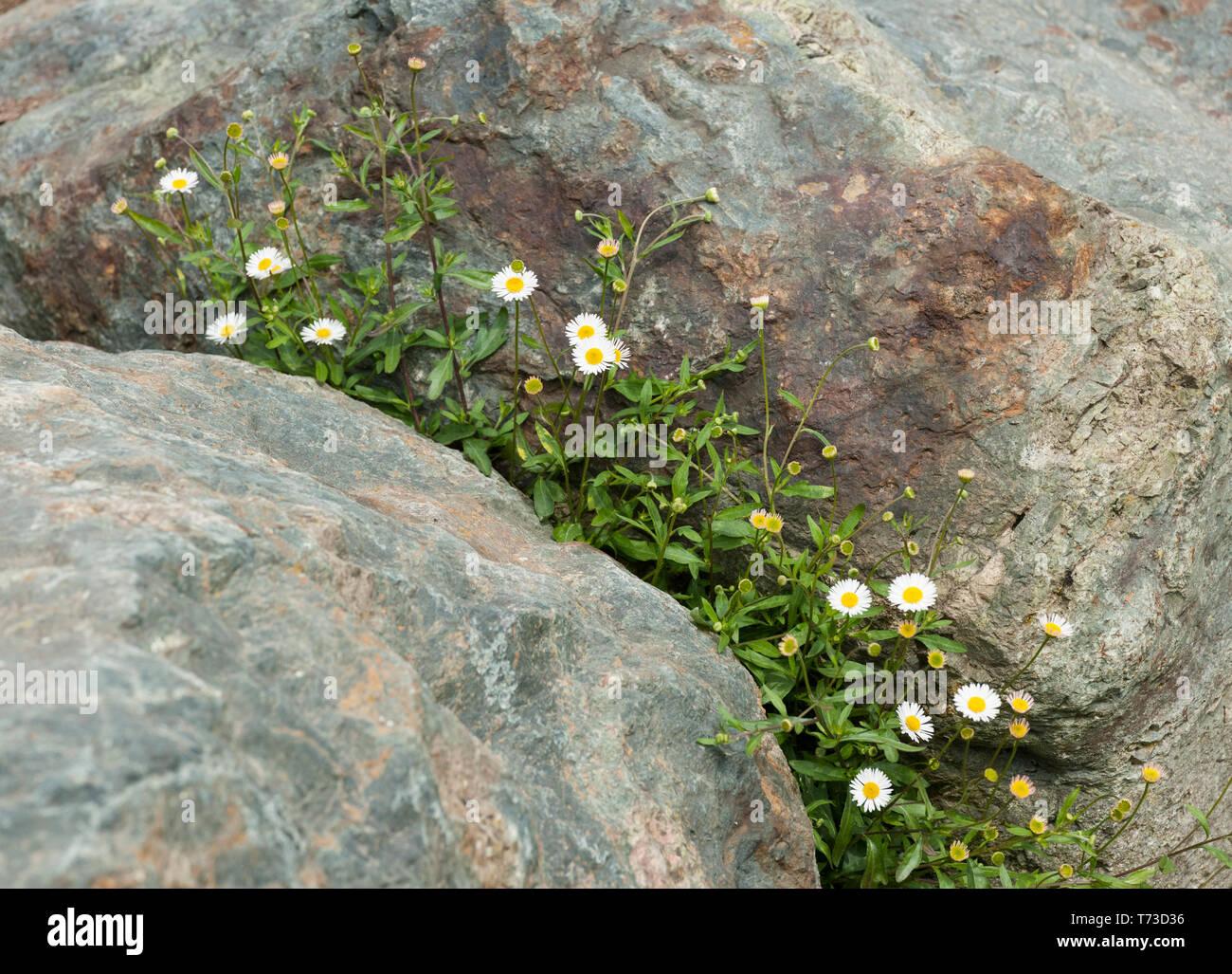 Weißen Gänseblümchen wachsen in die felsenhöhle zwei Felsen Stockbild