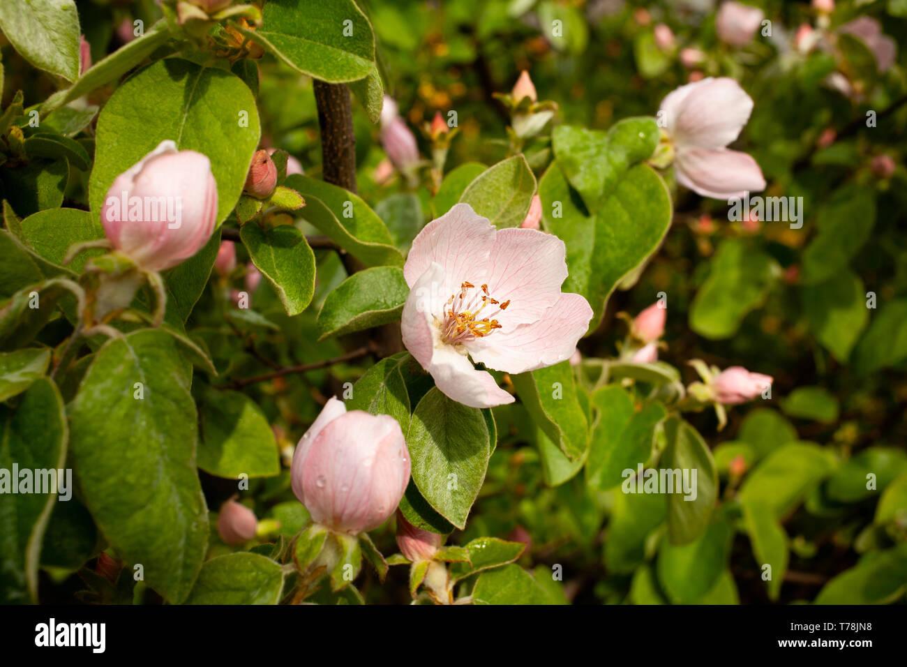 Quitte tree blossom Stockbild