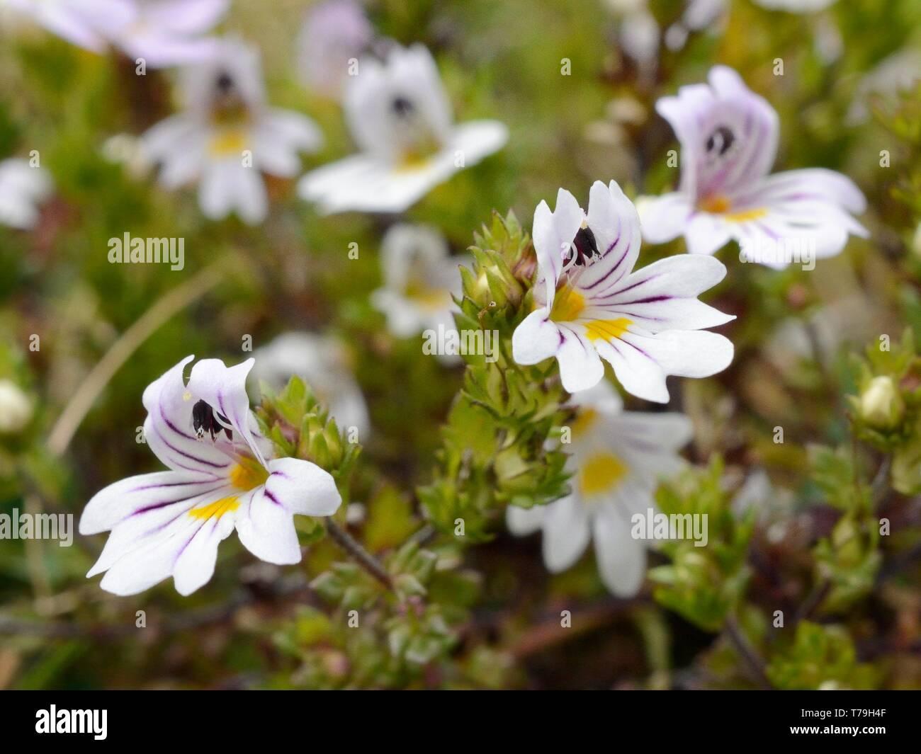 Alpine Augentrost (Euphrasia alpina) blühen auf montane Weiden, Covadonga, Picos de Europa, Asturien, Spanien, August. Stockbild