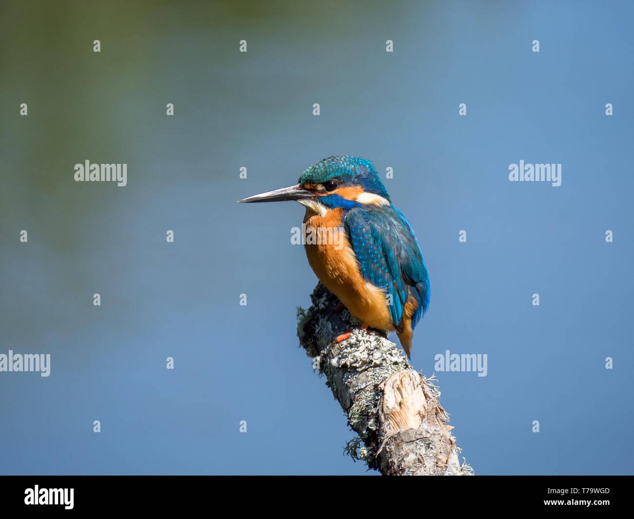 Kingfisher auf Barsch angeln Stockfoto