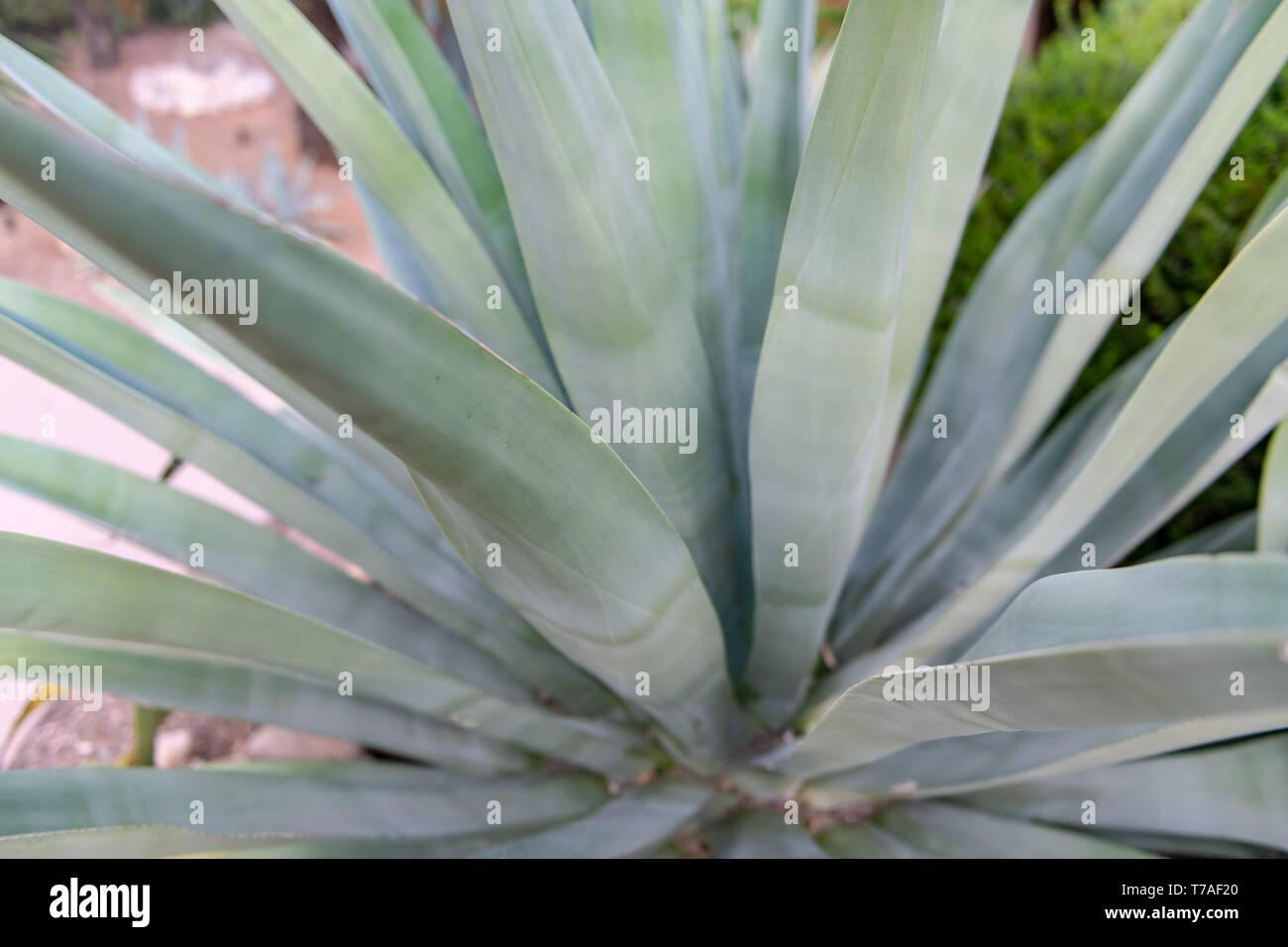 Agave in Tucson, Arizona, USA Stockbild