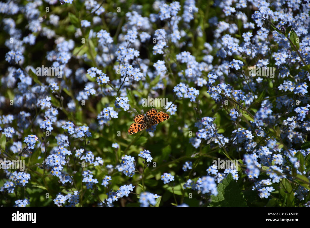 Vanessa cardui, Distelfalter, edelfalter, Falter, Saugrüssel, Rüssel, Schmetterling, Lepidoptera, Flügel, Muster, Blume, Blüte, Blumen, Sonne, Wiesen Stockbild