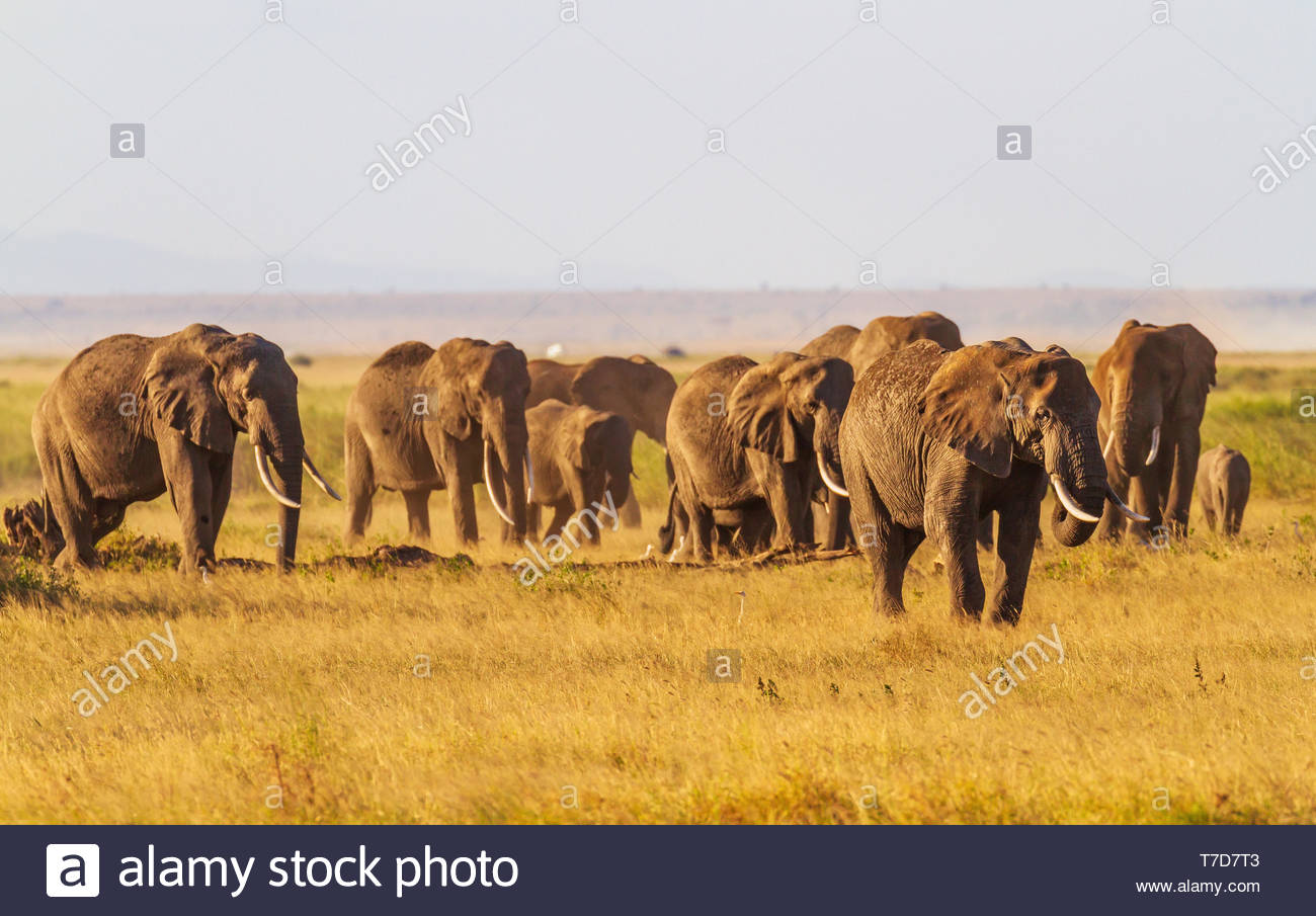 Herde tusker Elefanten, loxodanta Africana, Essen unterwegs Beweidung, Amboseli National Park, Kenia, Ostafrika. Hintergrundbild Stockbild