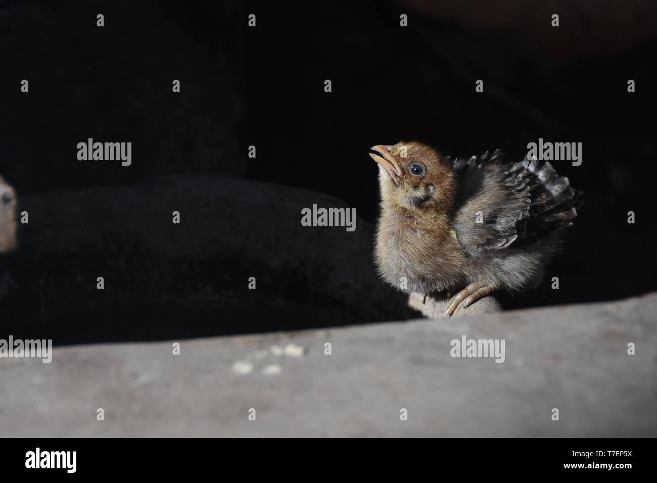 Hohe Betrachtungswinkel von Baby Huhn sitzend auf Stein Stockbild