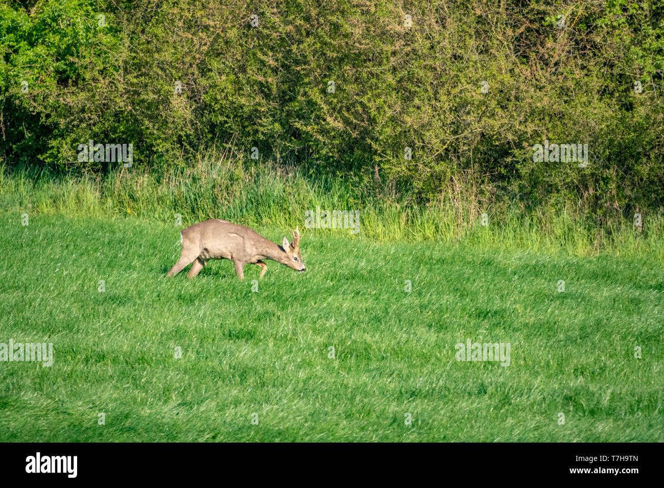 Ein junger Hirsch läuft über eine grüne Wiese und frisst Gras Stockfoto
