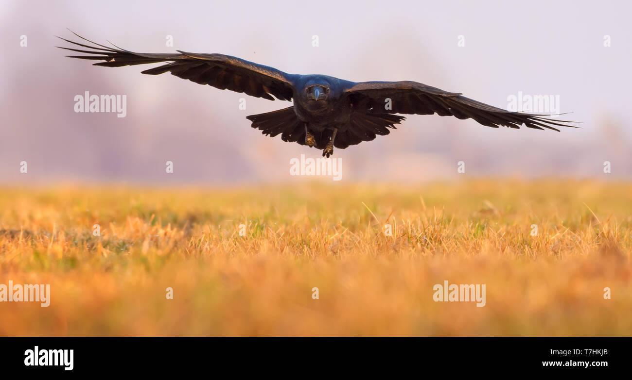 Kolkrabe ankommenden Flug niedrig über ein Feld am Morgen Stockbild