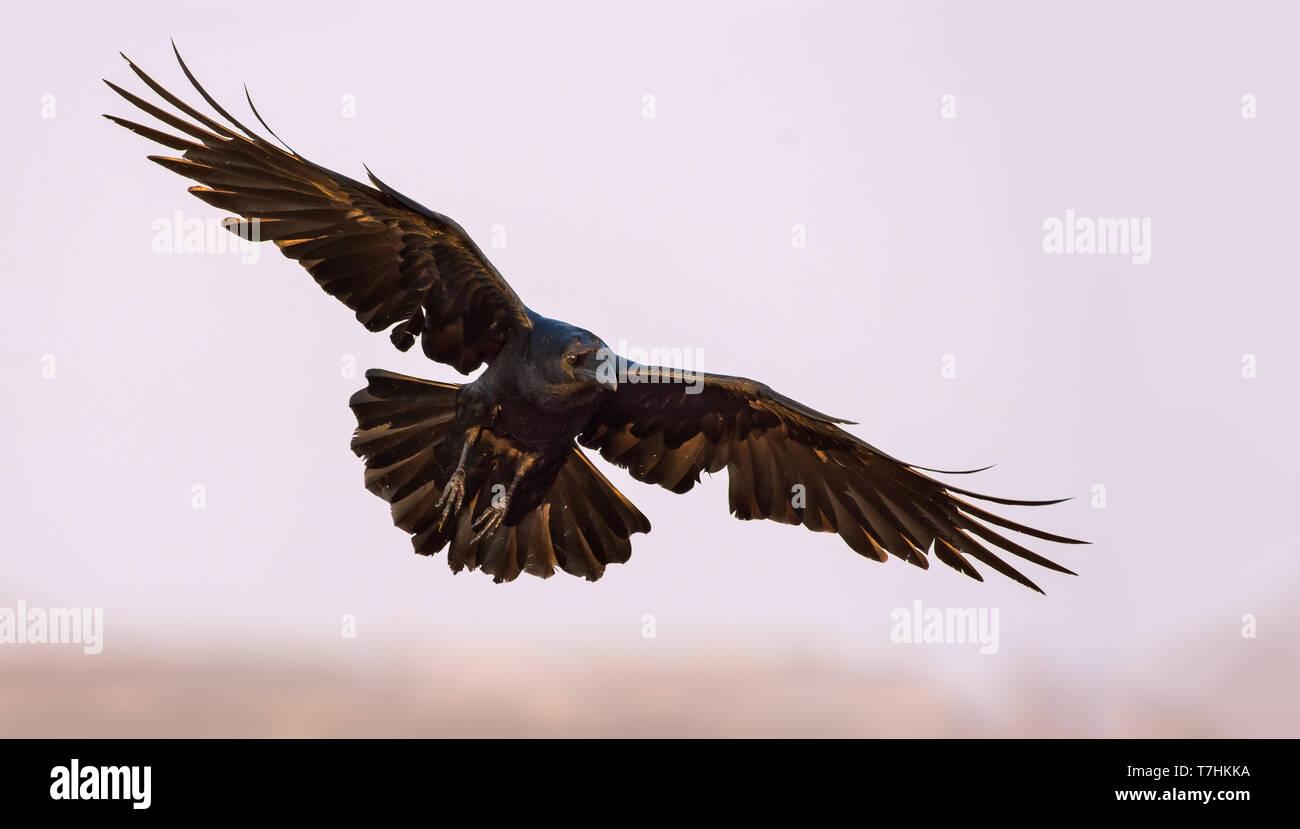 Kolkrabe Segelfliegen in den Himmel mit gestreckten Flügeln, Beine und Schwanz Stockbild