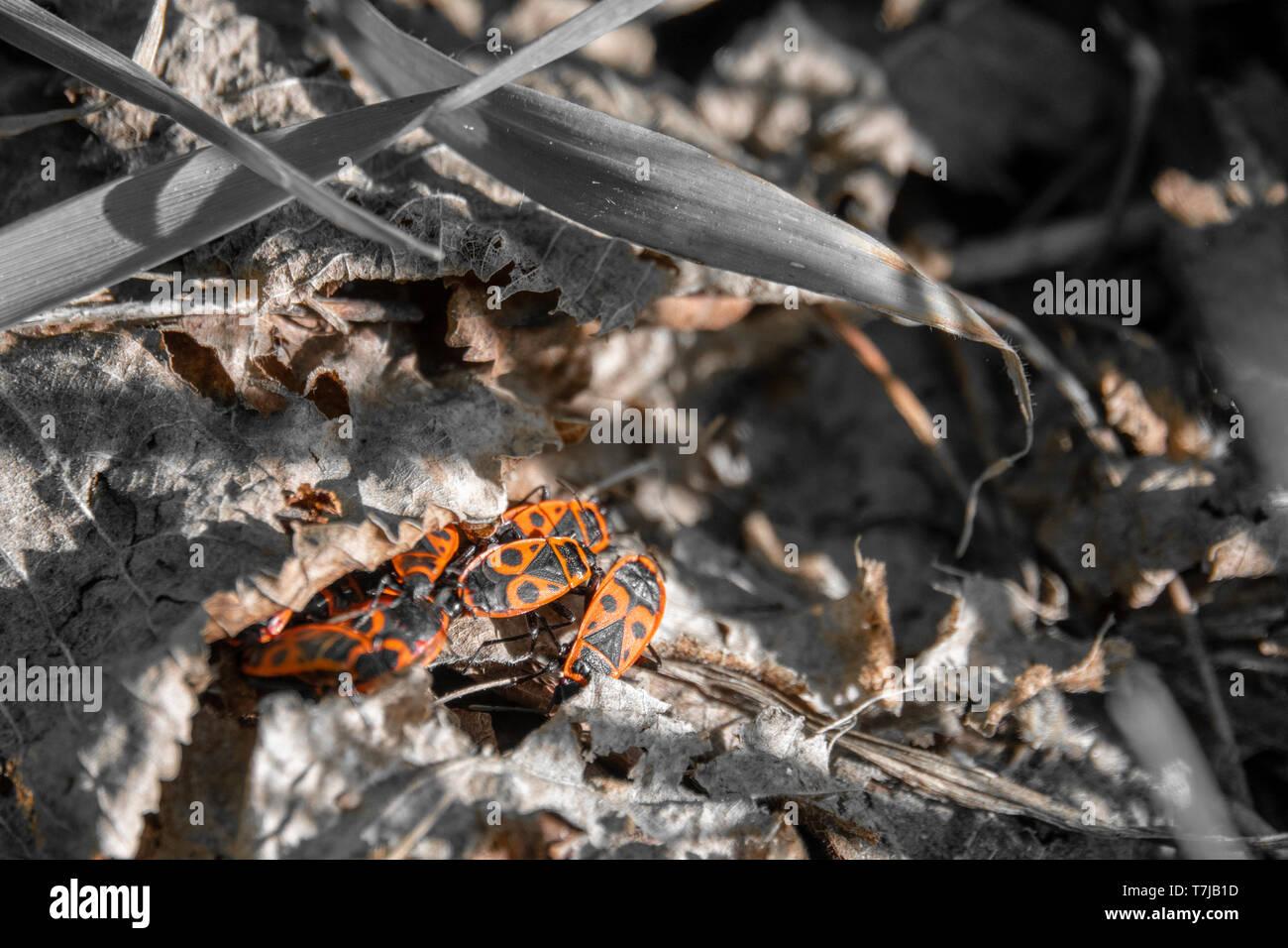 Einige Feuer Bugs im Gras unter Laub verbergen Stockfoto