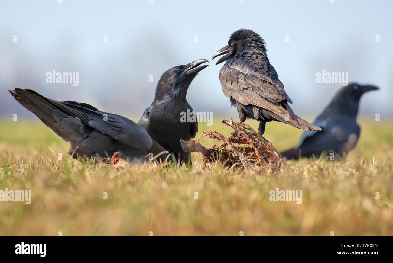 Gemeinsame ravens Interaktionen - harte Zeile zwischen zwei Vögel für Aas, Knochen und Karkasse Stockbild