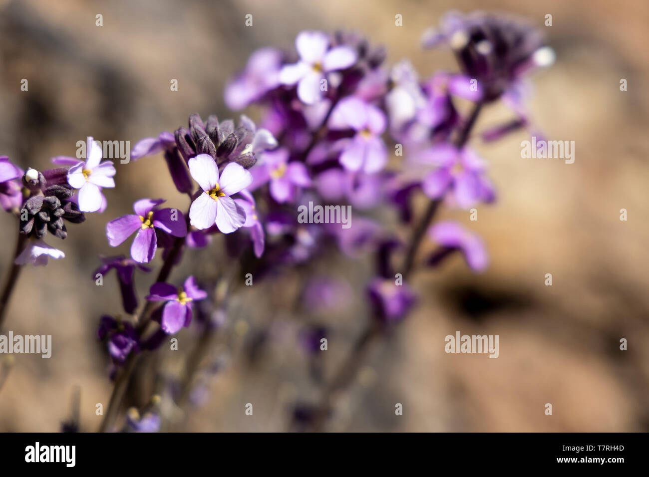Erysimum scoparium, Alheli del Teide, Kanarische Mauerblümchen, Montaña Blanca, Las Cañadas del Teide, Teneriffa, Kanarische Inseln, Spanien Stockfoto