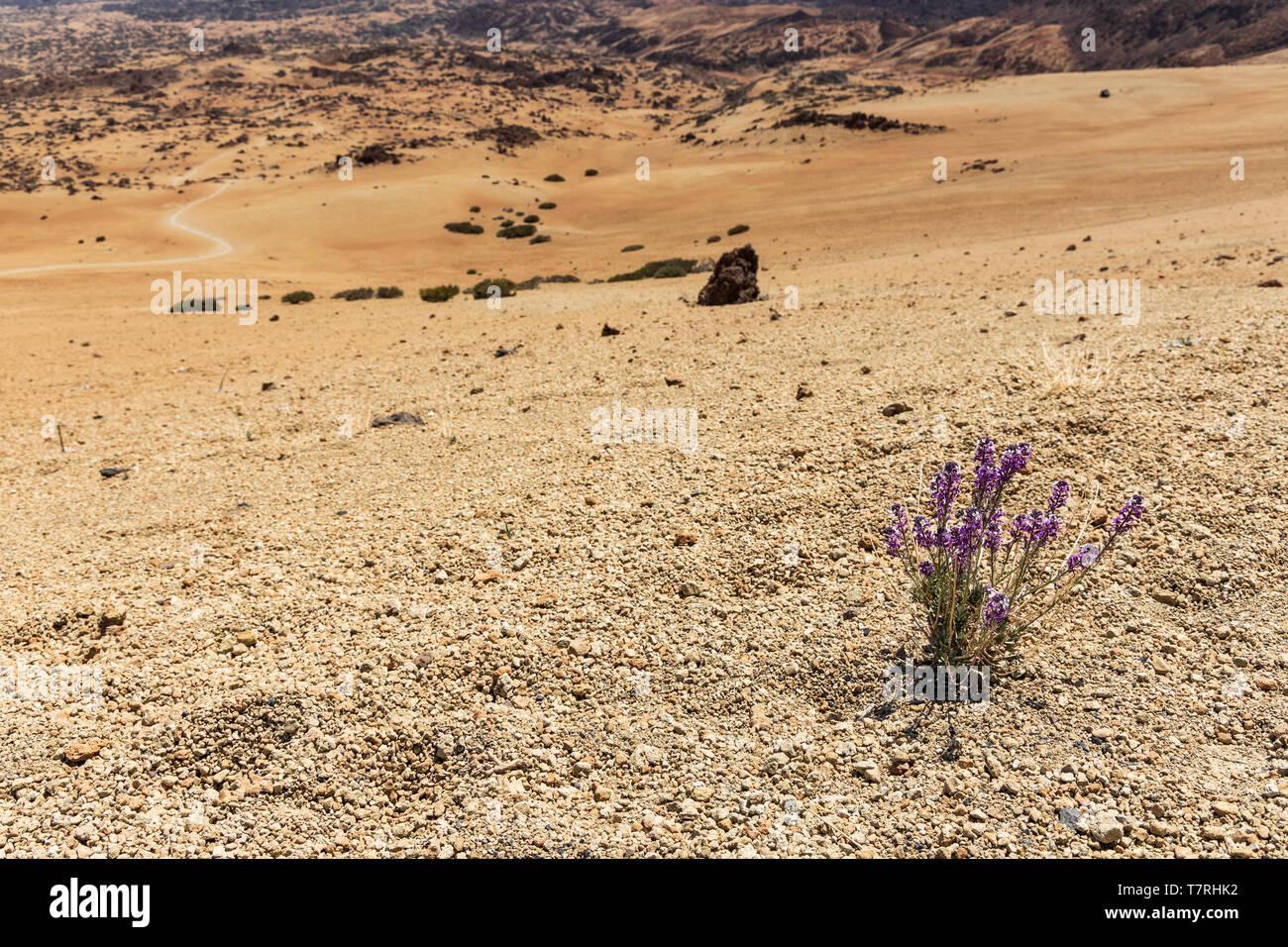 Erysimum scoparium, Alheli del Teide, Kanarische Mauerblümchen, Montaña Blanca, Las Cañadas del Teide, Teneriffa, Kanarische Inseln, Spanien Stockbild