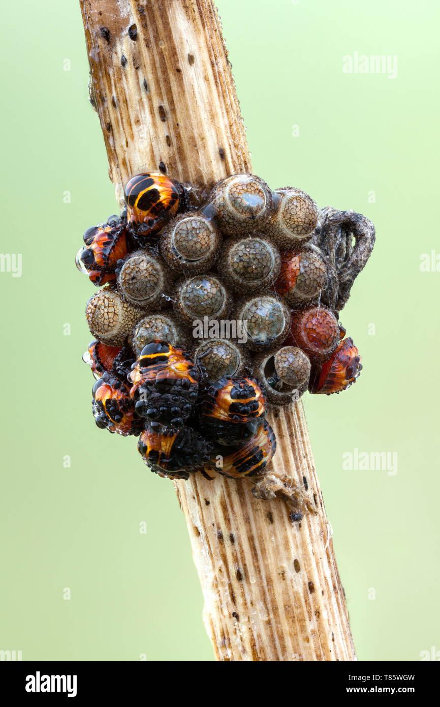 Shieldbug Larven und Eier Stockbild