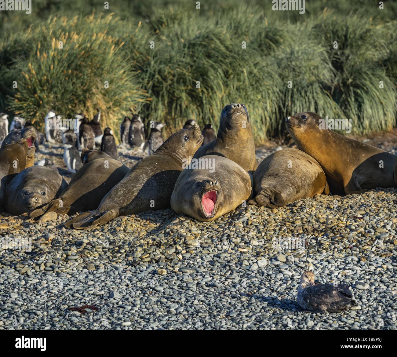 Seal Pup Aggression Stockbild
