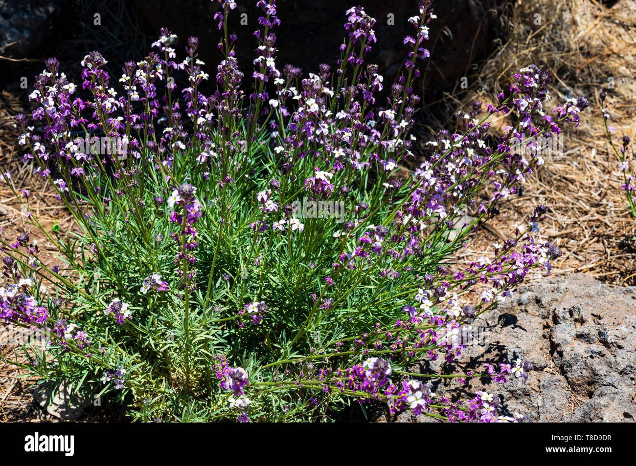 Der wissenschaftliche Name dieser Pflanze ist Erysimum scoparium Stockbild