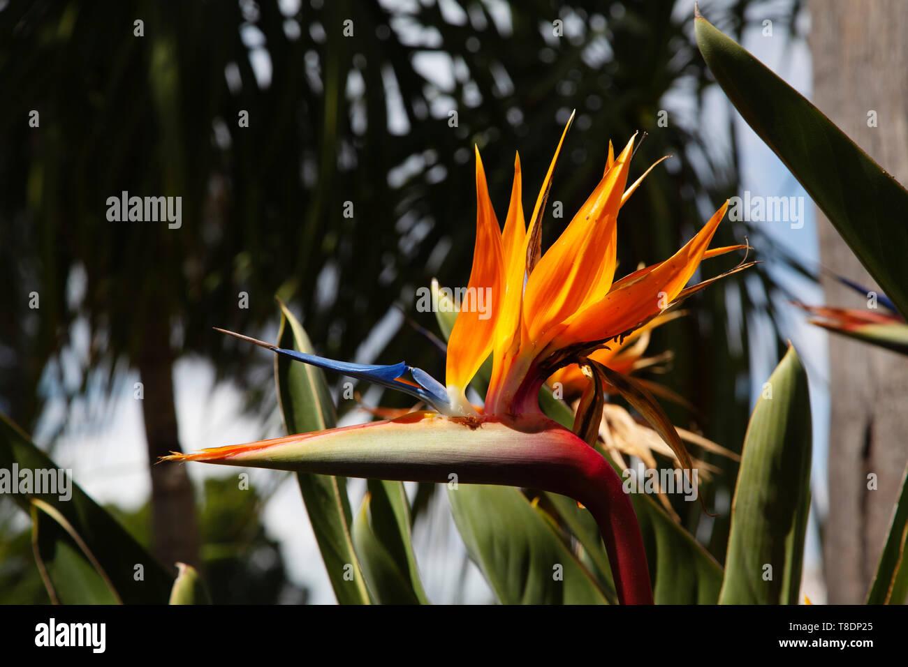 Bird of paradise flower in einem Garten. Strelitzia reginae. Provinz Malaga an der Costa del Sol. Andalusien, Süd Spanien Europa Stockfoto