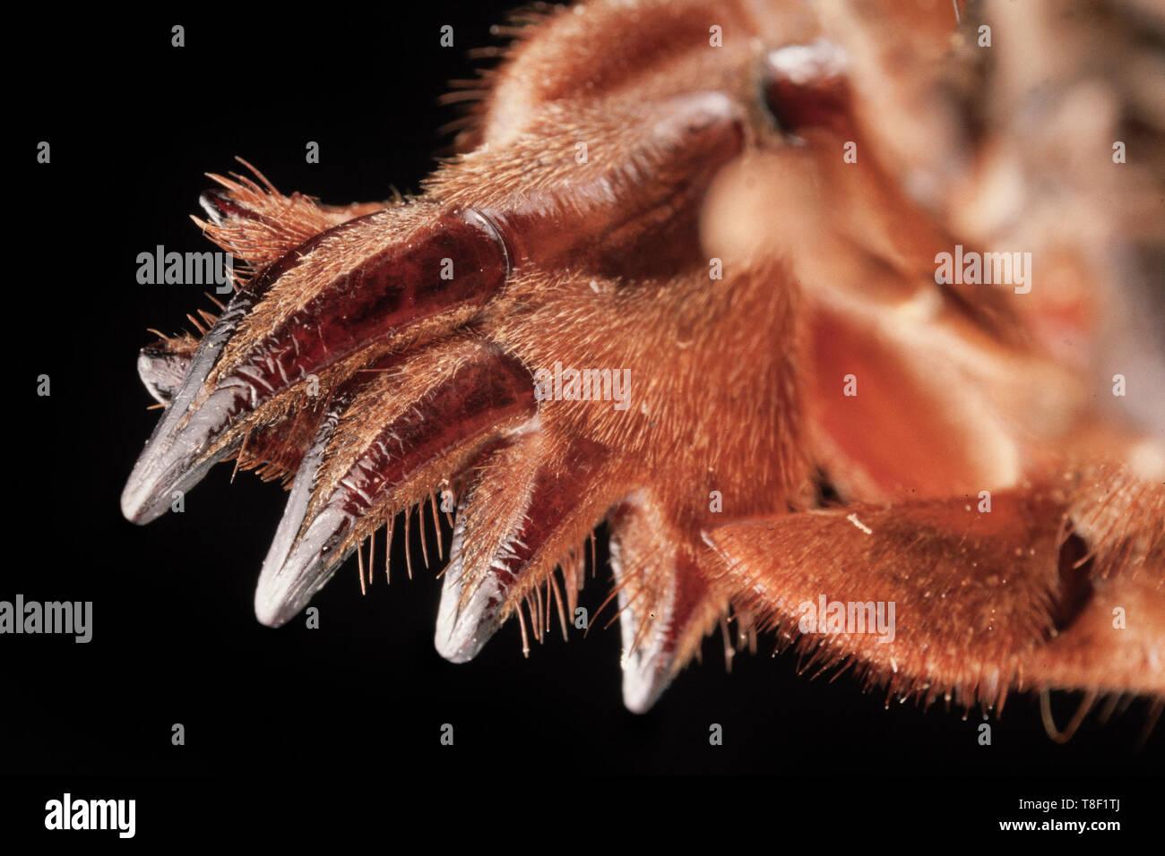 Vordere halteklaue der maulwurfsgrille Gryllotalpa brachyptera, Stockbild