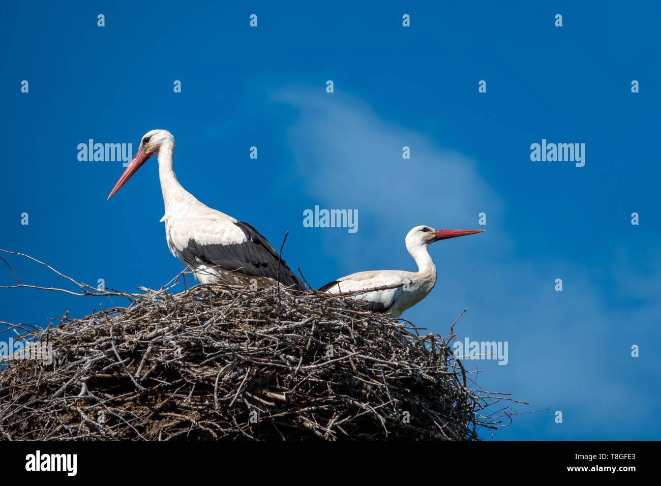 Ein paar Störche stehen in einem Nest, wenn das Wetter schön ist und der Himmel ist blau Stockfoto