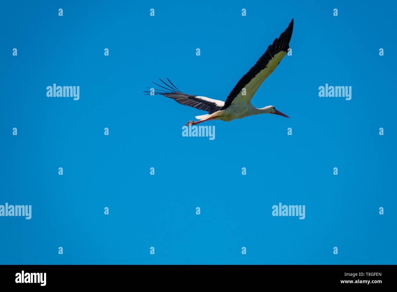 Ein Storch fliegt bei schönem Wetter im blauen Himmel Stockfoto