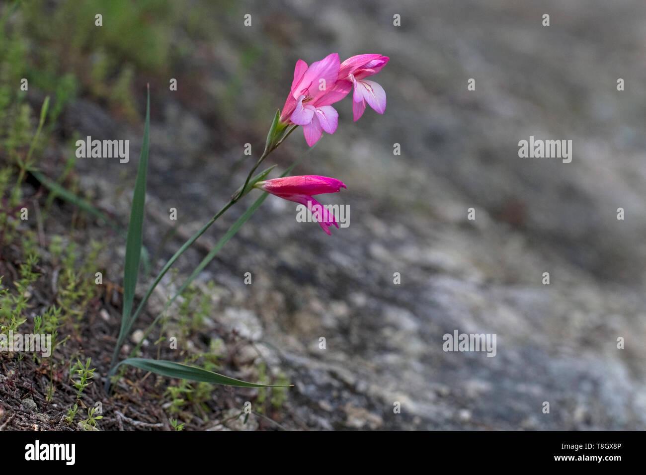 Zypern Gladiolen (Gladiolus triphyllus) Stockbild