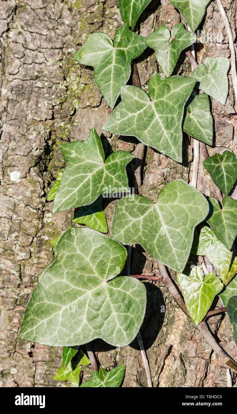 Hedera colchica Blätter (Common Ivy, English Ivy, Europäische Efeu) wächst ein Baum im Winter in Großbritannien. Stockbild