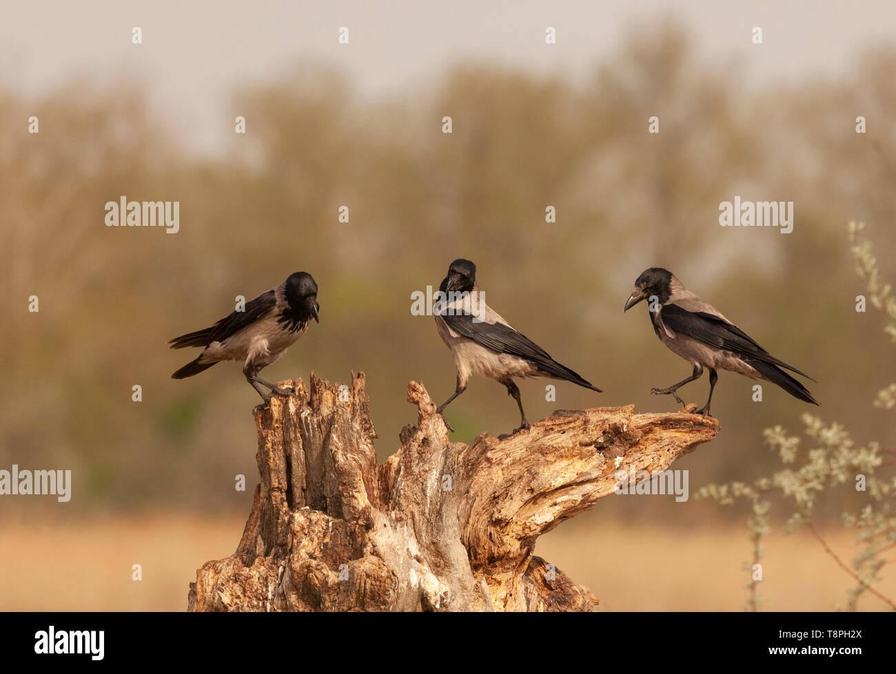 Drei wilde Hooded Crows, Corvus cornix, aka Grau Krähe auf einem Baumstumpf gegen eine natürliche, defokussiertem Hintergrund stehen. In der Donau De fotografiert. Stockbild