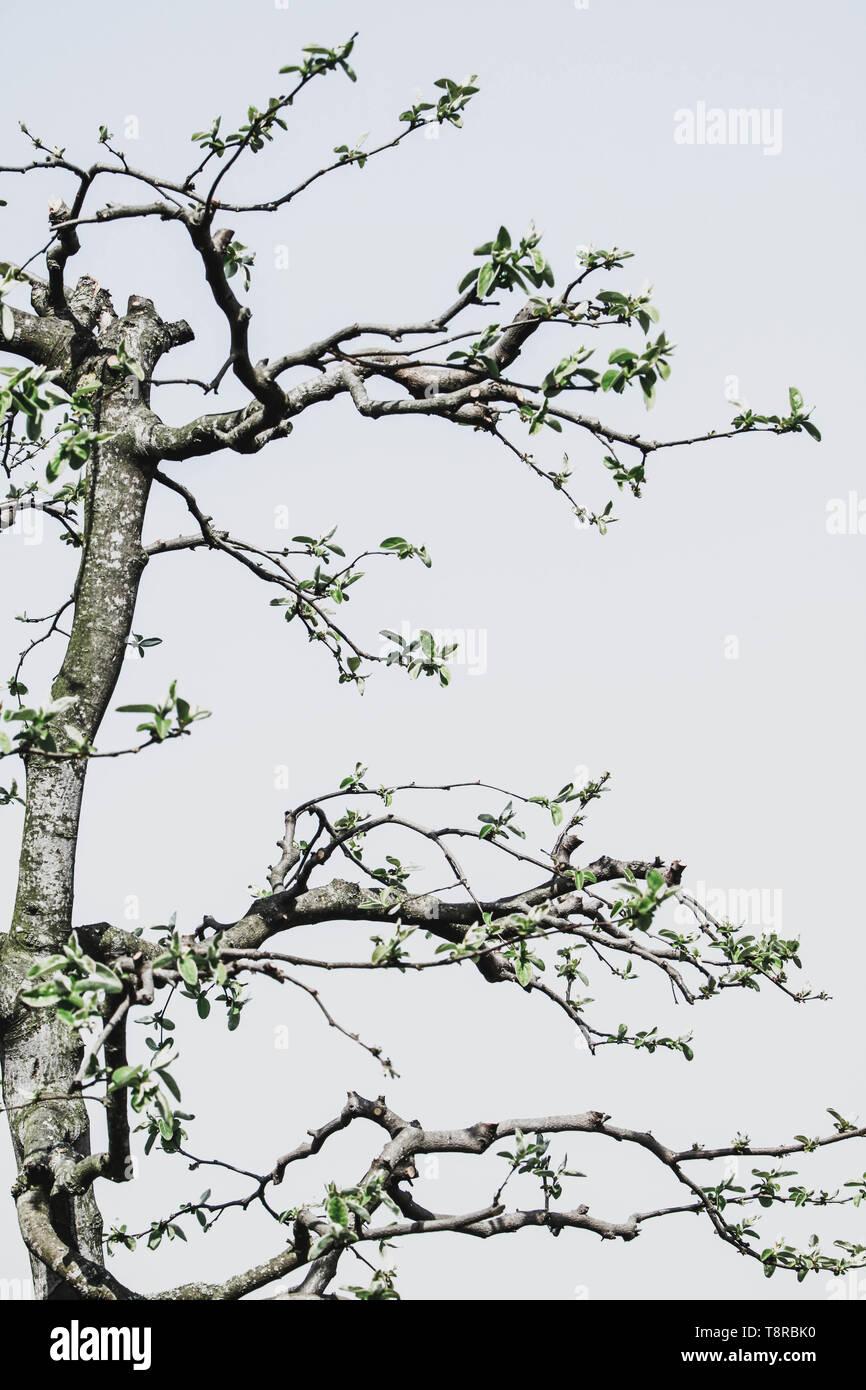 Detail der beschnitten Quitte Baum Stockbild