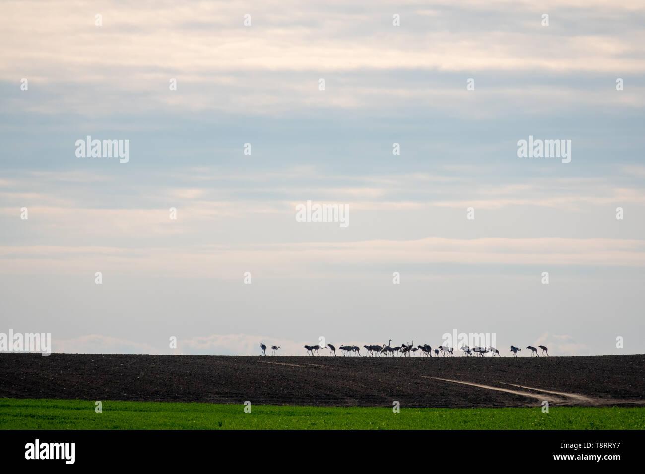 Eine große Gruppe von Kränen auf den Horizont auf ein Feld Stockfoto