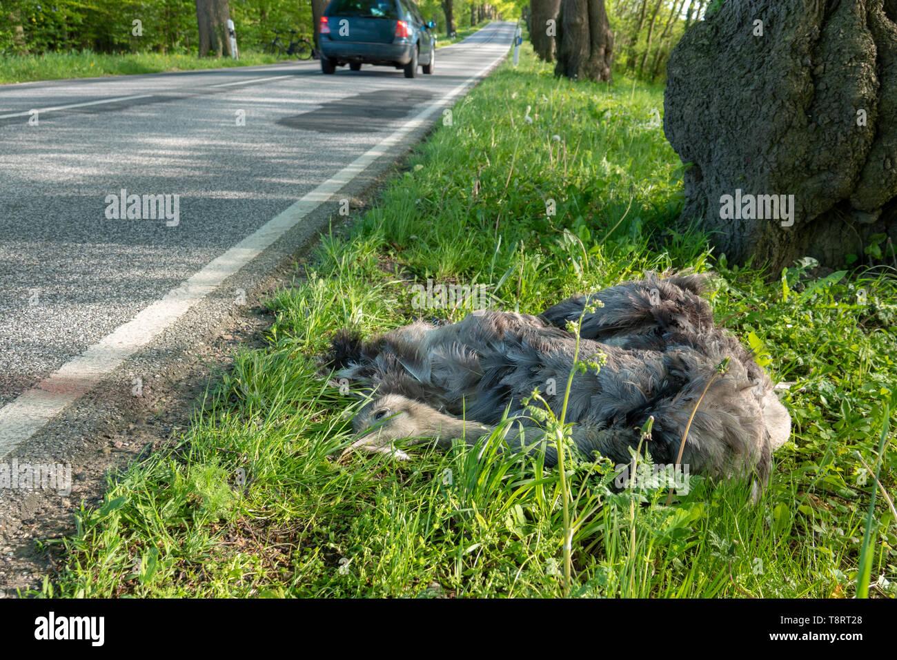 Ein toter Nandu liegt direkt an der Straße nach einer Kollision mit einem Auto Stockfoto