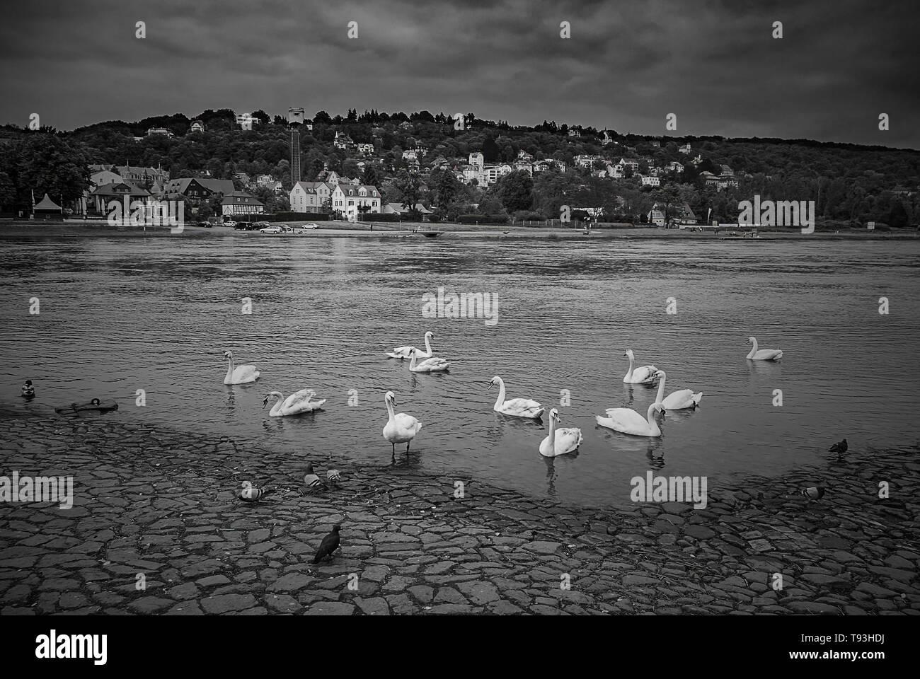 Schwäne und andere Vögel am Ufer der Elbe im Stadtteil Blasewitz mit Blick auf den Stadtteil Loschwitz, Dresden, Sachsen, Deutschland. Stockfoto