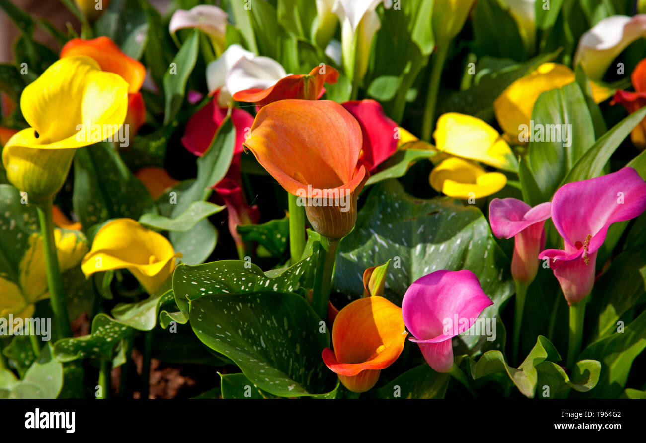 Keukenhof Holland, Canna Lillies, mit schönen bunten Blumen und Blüten im Frühling. Europa Stockbild