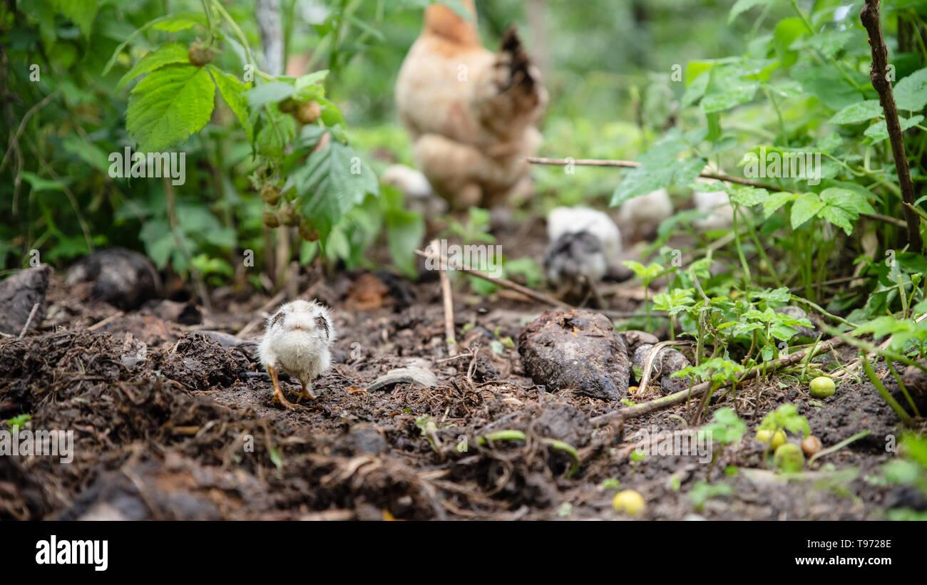 Wenig Huhn aufholen mit der Brut. Im Garten. Das Leben im Dorf, in der Ukraine Stockbild