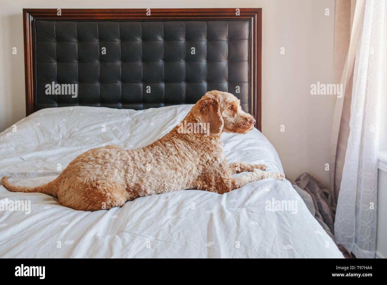 Cute adorable schamlose Rothaarige Hund auf sauberen Bett im ...