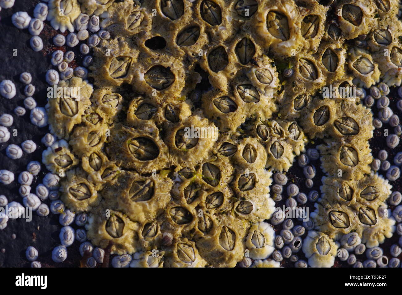Acorn Barnacles (Semibalanus balanoides), auf der felsigen Küste bei Crail Fife, Schottland, Großbritannien. Stockfoto