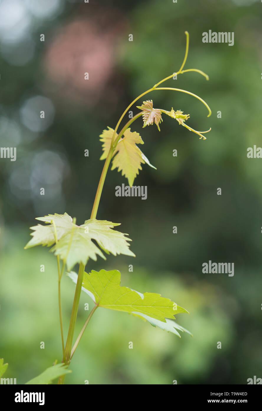 Weinstock Zweig mit Ranke und grüne Blätter auf die natürlichen Hintergrund Stockbild