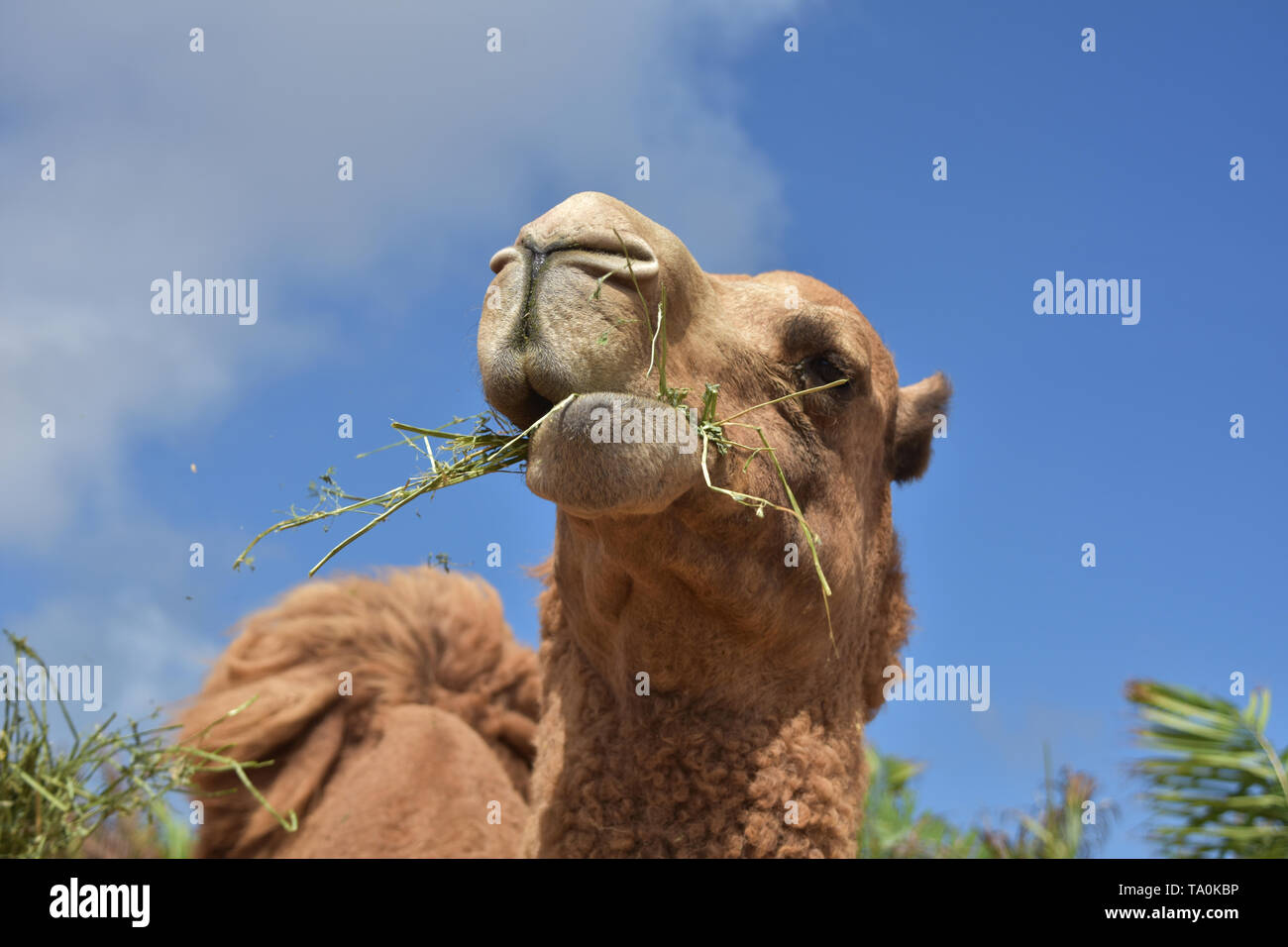82de731d761a Camel Chewing Stockfotos & Camel Chewing Bilder - Alamy
