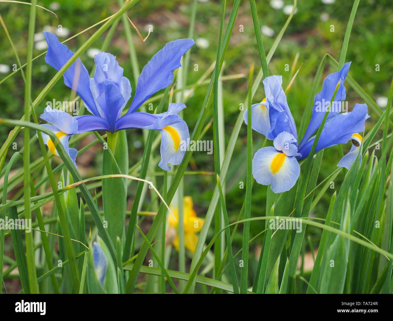 Picture Of Iris Flowers Stockfotos & Picture Of Iris Flowers Bilder ...
