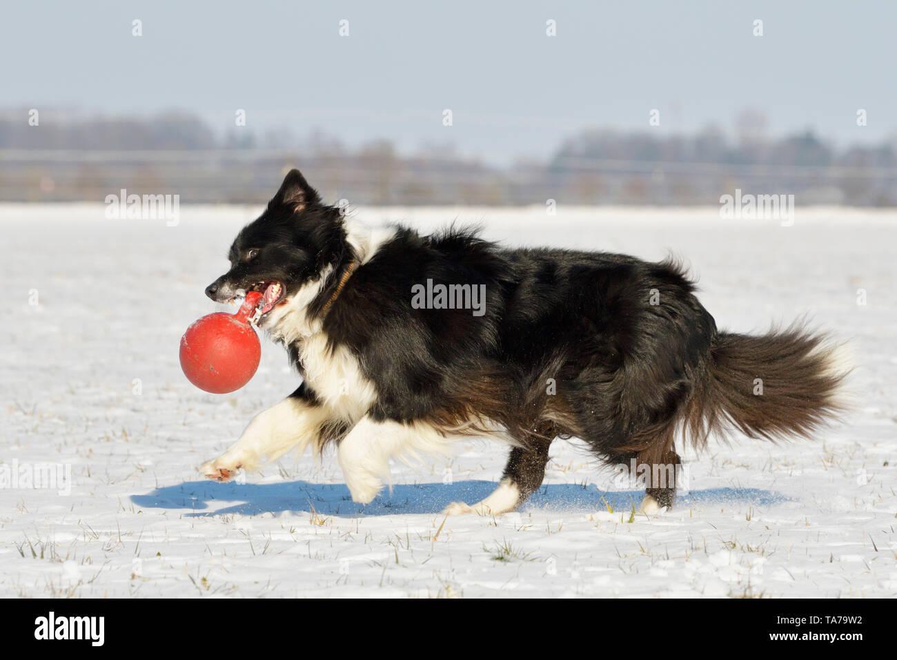 Border Collie. Erwachsener Hund im Schnee, das Spiel mit dem roten Ball. Deutschland Stockfoto
