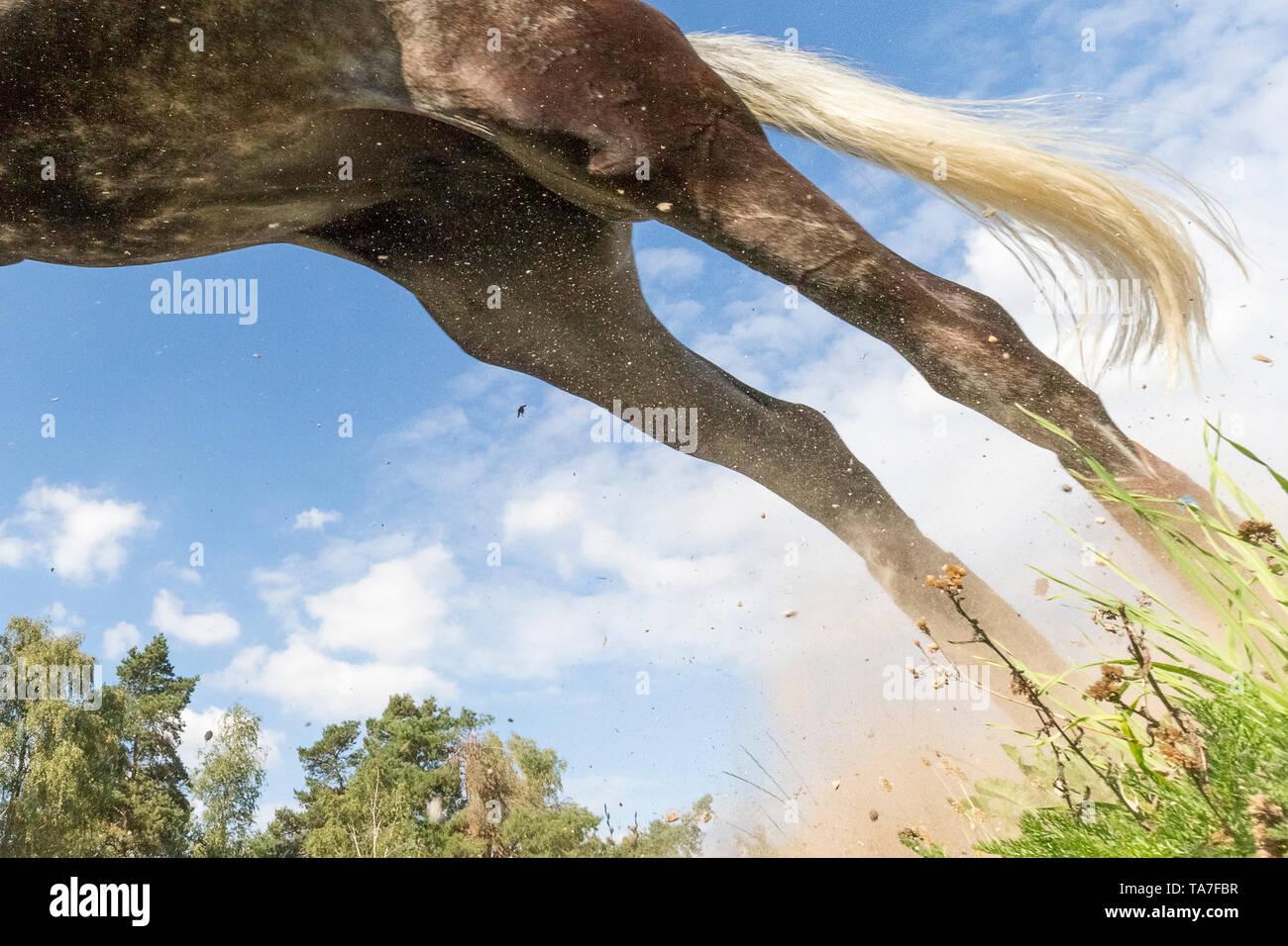 Trakehner. Juvenile graues Pferd Clearing ein Hindernis bei einer Cross-country-reiten. Deutschland Stockbild