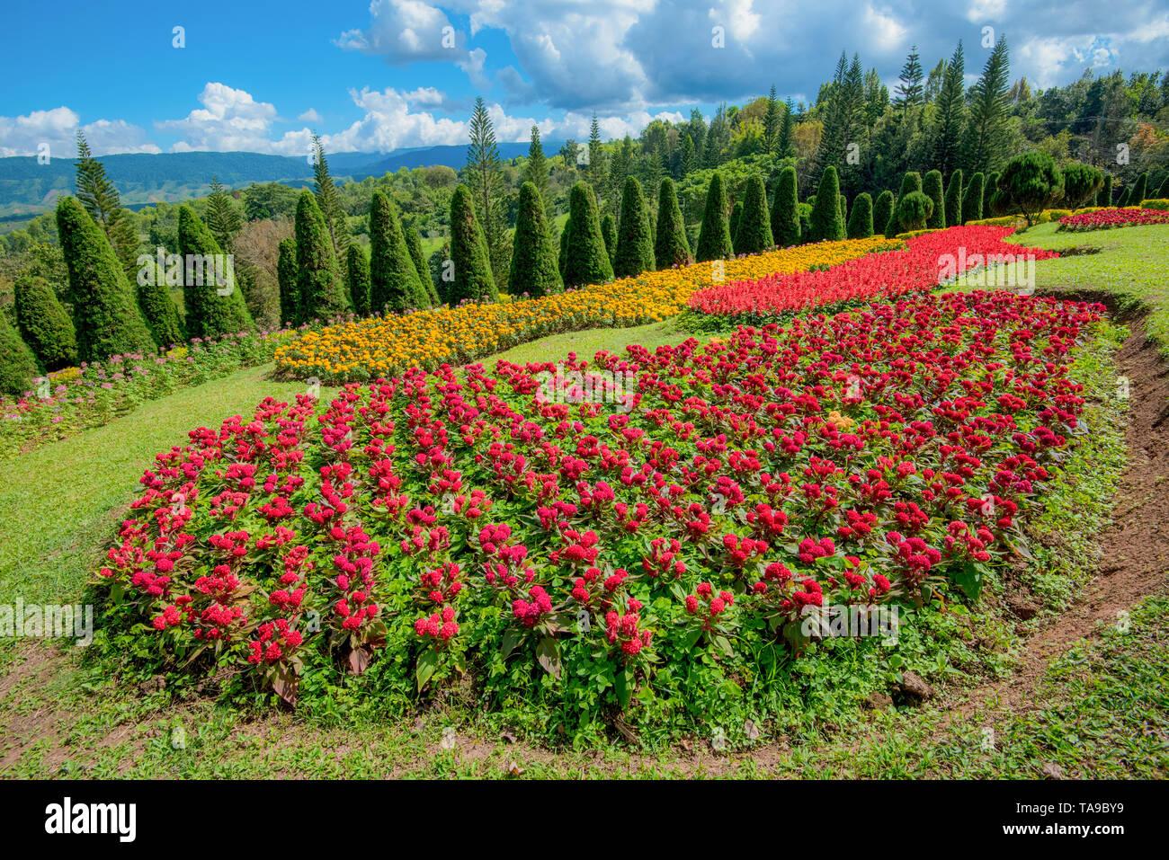 Pine Tree Garten/Blumen und Garten auf einem Hügel mit Pinien für Weihnachten - Landschaft Plateau auf dem Berg Hintergrund/Kasad T-Stück gesungen Phurua Loei agr Stockbild