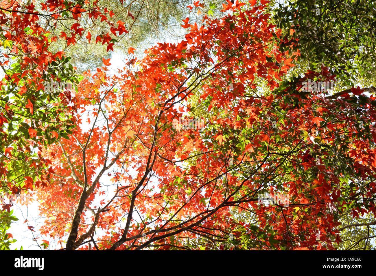 Red maple leaf auf Maple Tree bunte Jahreszeit Herbst im Wald Blätter Farbe ändern, Landschaft, Natur/Acer palmatum Acer calcaratum Gagnep Stockbild