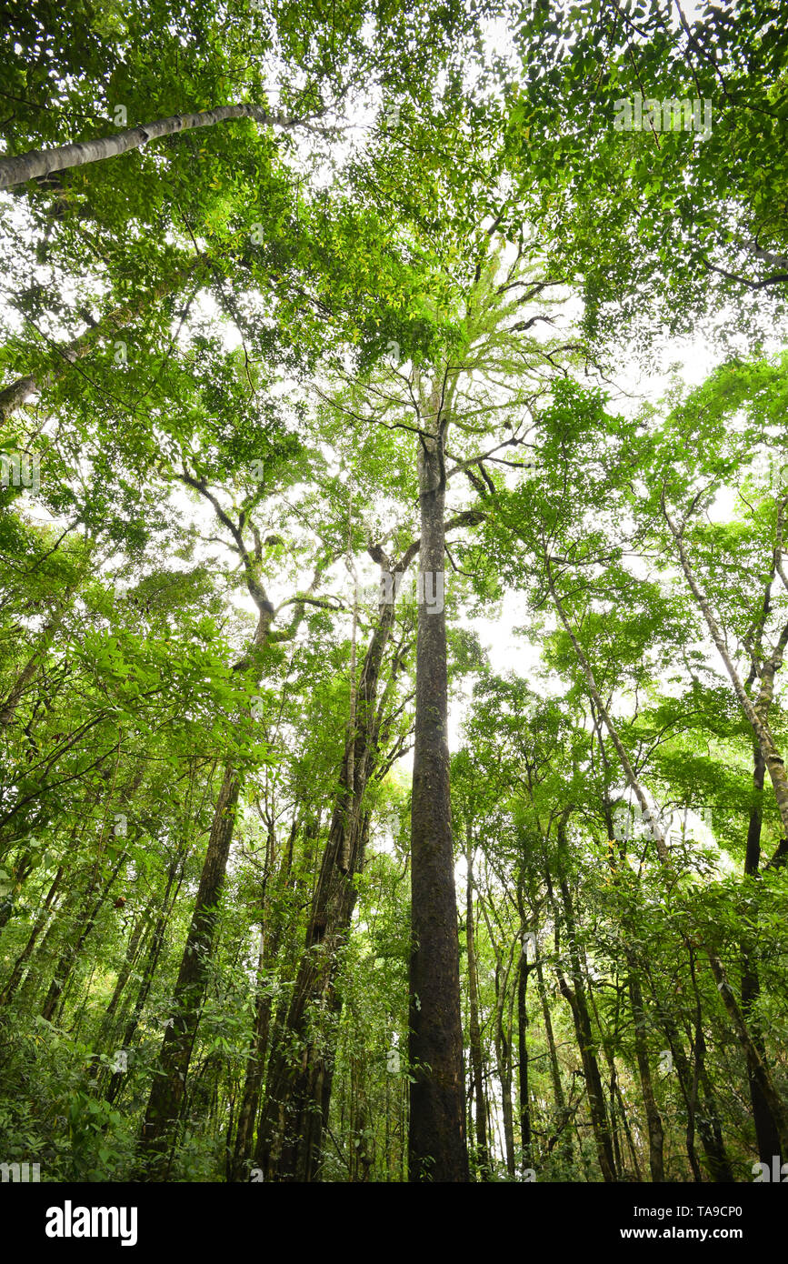 Hohen Baum im Dschungel/malerischen Blick auf grüne Baum im Wald Stockbild