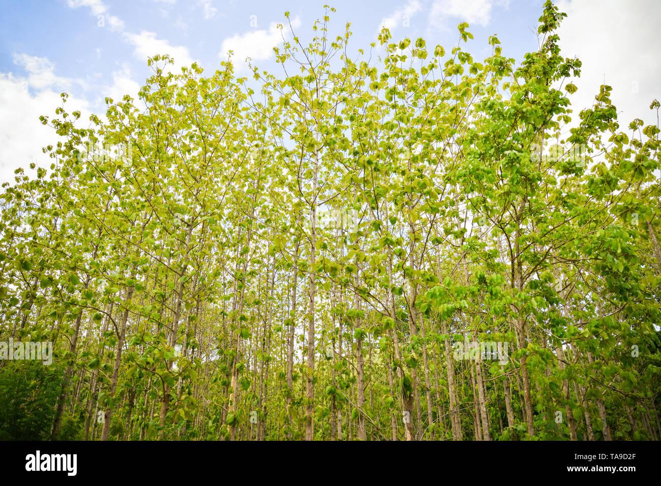 Wald Teak tree/der landwirtschaftlichen der Plantage Feld Teak tree green leaf in ländlicher Umgebung Stockbild