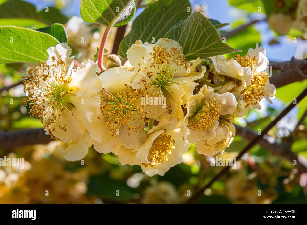 Gelb creme Blumen Kiwis Anlage Stockbild