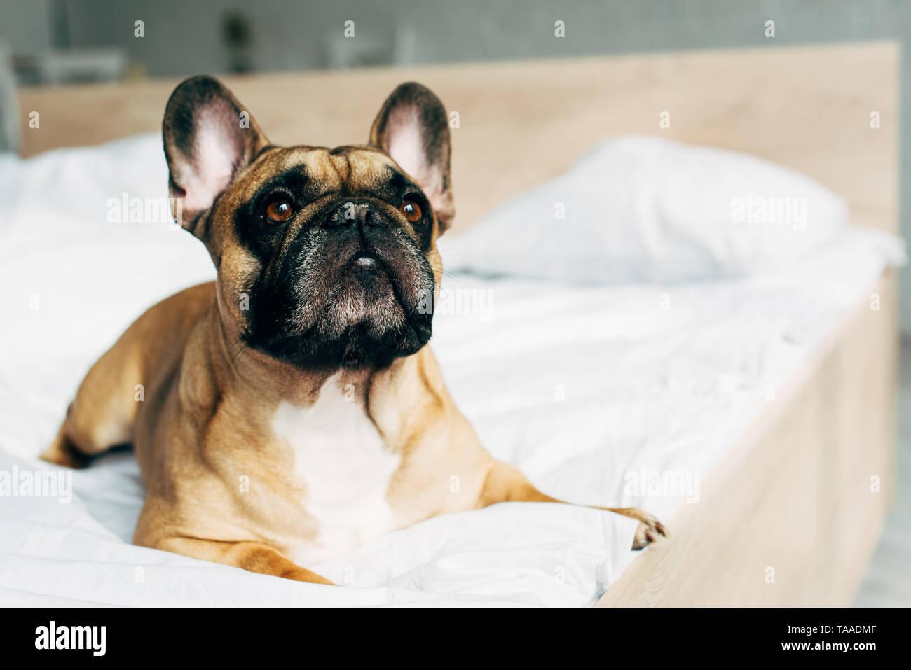French Bulldog Dog Lying Stockfotos French Bulldog Dog Lying