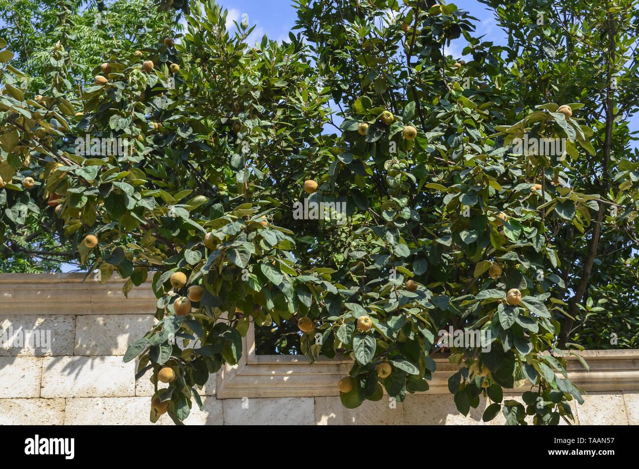 Niederlassungen der Quitte Baum mit Früchten an einem sonnigen Tag Stockbild