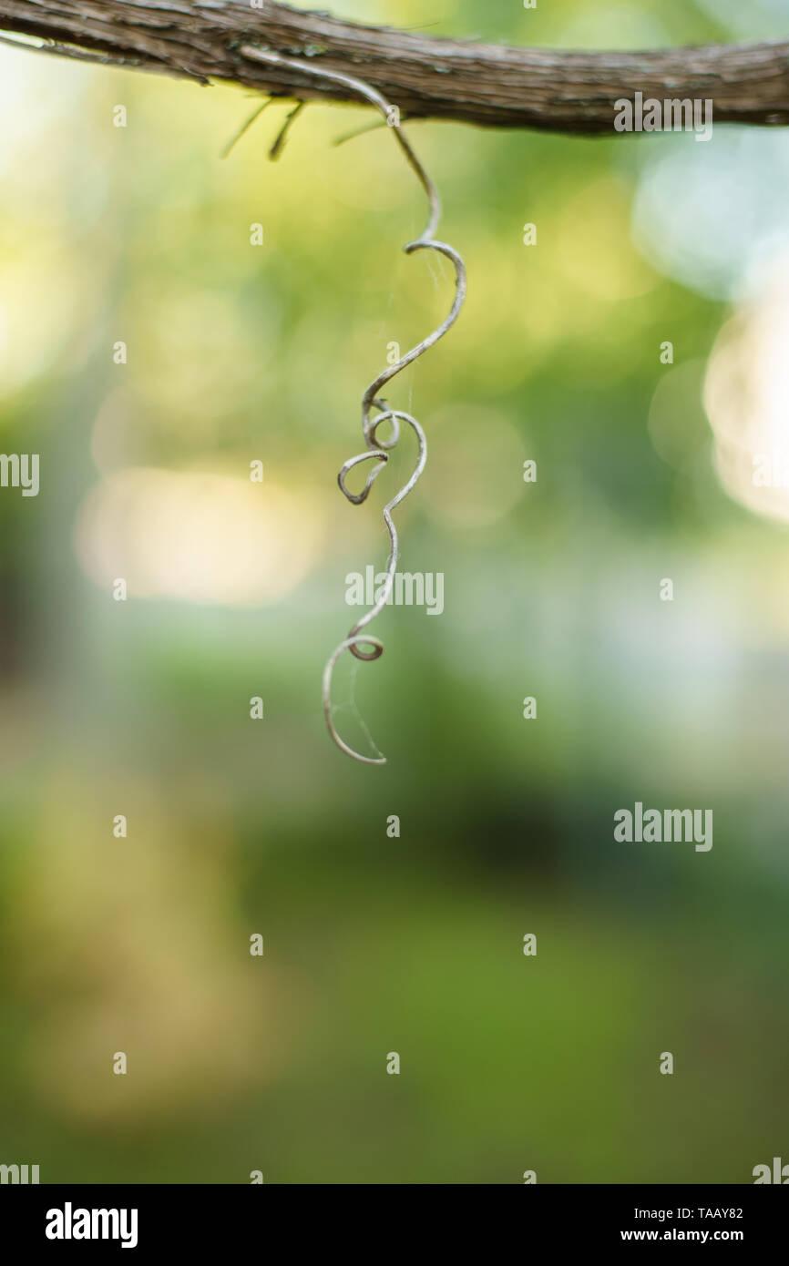 Trocknen der Trauben auf einem Zweig im Frühling Garten locken. Selektiver Fokus, Makro Stockbild