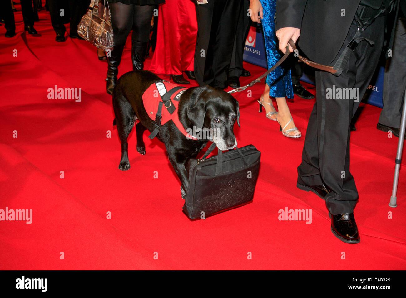 Hilfe Hund auf dem roten Teppich tragen Eine Tasche 2010 Stockbild