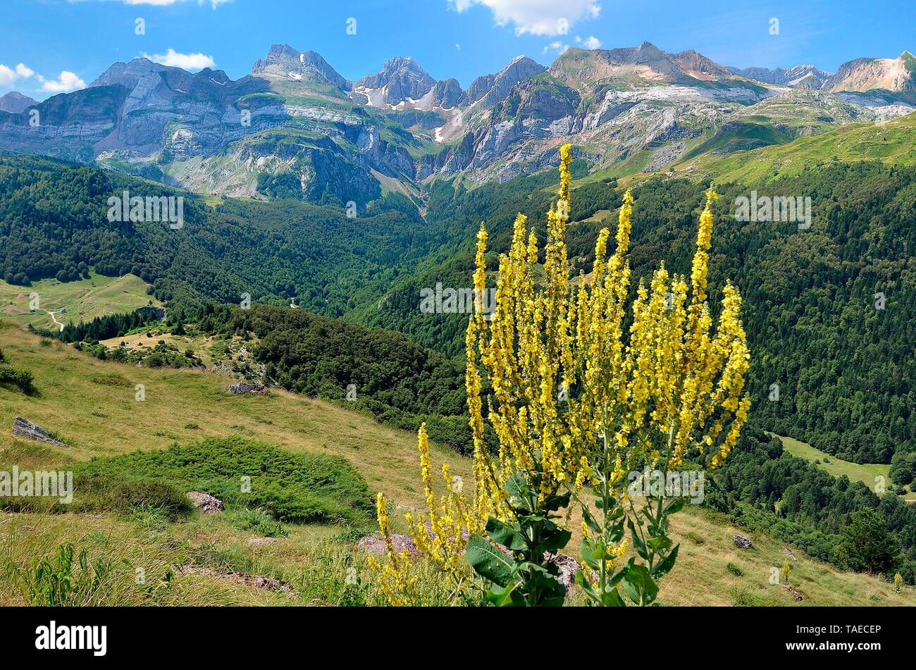 Scrophulariaceae Family Stockfotos & Scrophulariaceae Family Bilder - Alamy
